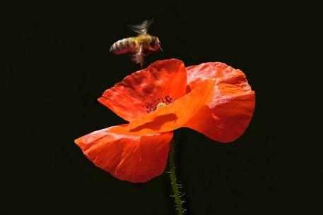 Approach-on-poppy-flower-76-18-g3v