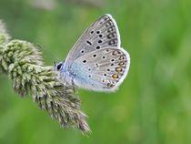 Gemeiner Blauer Schmetterling von Ioana Hraball