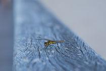 Libelle klein  von Ralf Ramm - RRFotografie