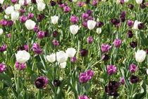 Tulpenfeld in lila und weiß by kattobello