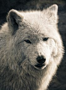 Arctic Wolf by Peter Hebgen