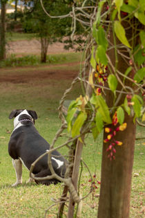 pitbull tranquility in the countryside by Luís Filipe V A Rossi von Atzingen Rossi