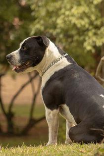 pitbull a controversial dog von Luís Filipe V A Rossi von Atzingen Rossi
