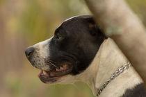 Pitbull a wonderful dog von Luís Filipe V A Rossi von Atzingen Rossi
