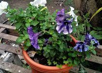 Flores violetas by Ricardo De Luca