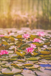 Water lilies by Silvia Eder