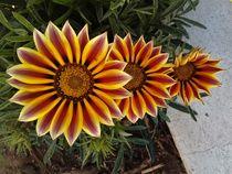 Flores: Gazanias by Ricardo De Luca