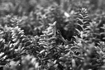 Salzmiere (Honckenya peploides) am Ostseestrand, Makroaufnahme von dresdner