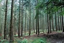 Kiefernwald im Morgenlicht by Frank  Kimpfel