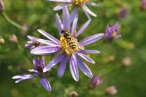 Ruhe-Insel - Schwebfliege auf Blume von Thomas Sonntag