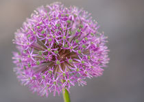Chrysan Lila Blume von Frank Kemper