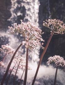 Blume vorm Wasserfall von Frank Kemper