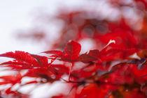 Rote Bläter von Frank Kemper