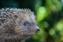 Hedgehog   -  Igel by Claudia Evans