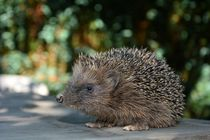Igel   -  Hedgehog by Claudia Evans