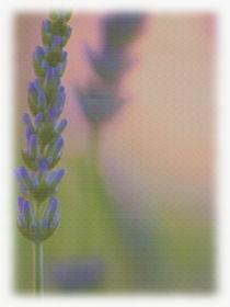 Lavendel von Sonja Speier