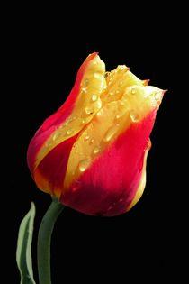 Gelbe und rote Tulpe by Ioana Hraball