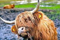 Kuh, Scottischer Highlander,Rind by ivica-troskot