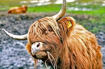 Kuh, Schottischer Highlander Rind by ivica-troskot