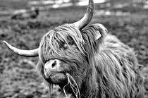 Kuh, Schottischer Highlander Rind von ivica-troskot