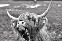 Kuh, Hochlanrid, Schottland von ivica-troskot