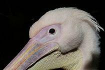 Pelikan by maja-310