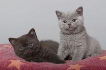 Britisch Kurzhaar Kitten / 101 von Heidi Bollich