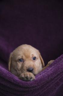 Liegender Labrador Welpe von Heidi Bollich