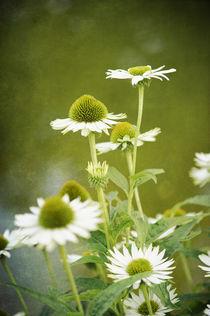 Blühende weisse Echinacea von Heidi Bollich
