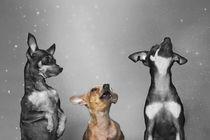 Drei Prager Rattler / 2 von Heidi Bollich