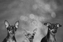 Drei Prager Rattler / 1 von Heidi Bollich