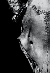 Whitetail Deer Skull 3 by James Aiken