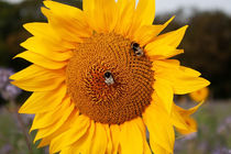 Sonnenblume an einem Herbstmorgen. by Caius-Daniel Gheorghe