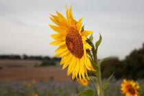 Sonnenblume an einem Herbstmorgen. von Caius-Daniel Gheorghe