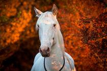 freundliches Pferd in der Herbstabendsonne von Anne-Barbara Bernhard