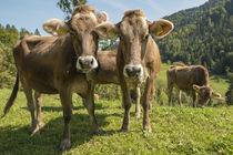 Braunvieh auf der Weide im Allgäu von Thomas Keller