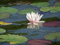 Seerosenteich, Makrofotografie, close up, water-lily pond von Dagmar Laimgruber