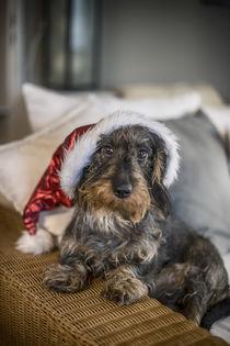 Dackel mit Weihnachtsmütze by Susann Kuhr