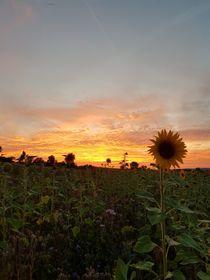 Sonnenblumen im Sonnenuntergang  von farbfotografie