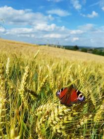 Schmetterling im Feld  von farbfotografie