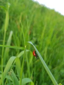 Marienkäfer im Gras  von farbfotografie
