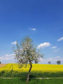 Blühender Baum vor Rapsfeld  von farbfotografie