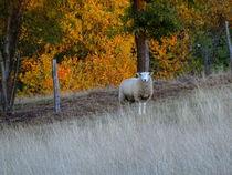 Herbstschaf von Regina Raaf