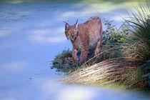Eurasischer Luchs (Lynx lynx) by Marcus Skupin