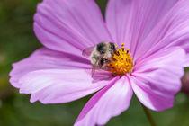 Biene auf einer Cosmea bipinnata-Blüte von Christoph Hermann