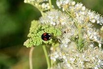 Black Ladybug von Claudia Evans