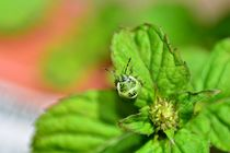 The stink bug  von Claudia Evans