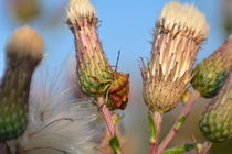 Farbenfrohe Wanze  -  Baumwanze  in der Natur von Claudia Evans