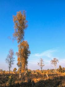 Birken im Naturschutzgebiet Schwenninger Moos - Villingen-Schwenningen von Christine Horn