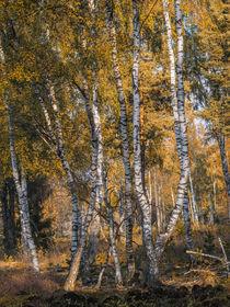 Herbstlicher Birkenwald im Schwenninger Moos - Villingen-Schwenningen by Christine Horn